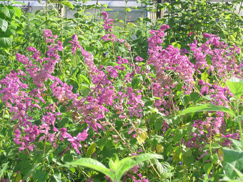 Salvia splendens Redecoc  